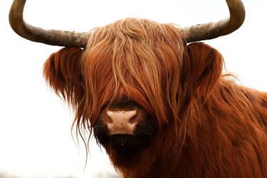 Schotse Hooglander by andabata