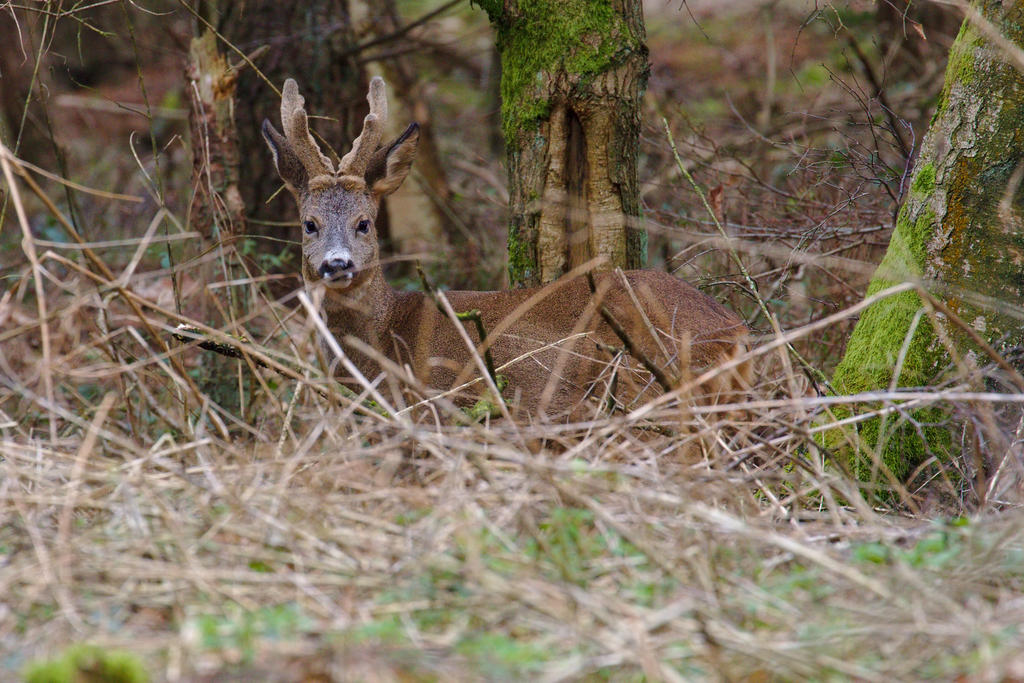 roe deer by andabata