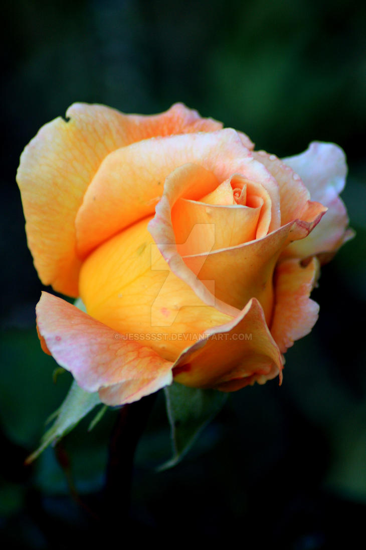 Orange Rose 2 by JesssssT