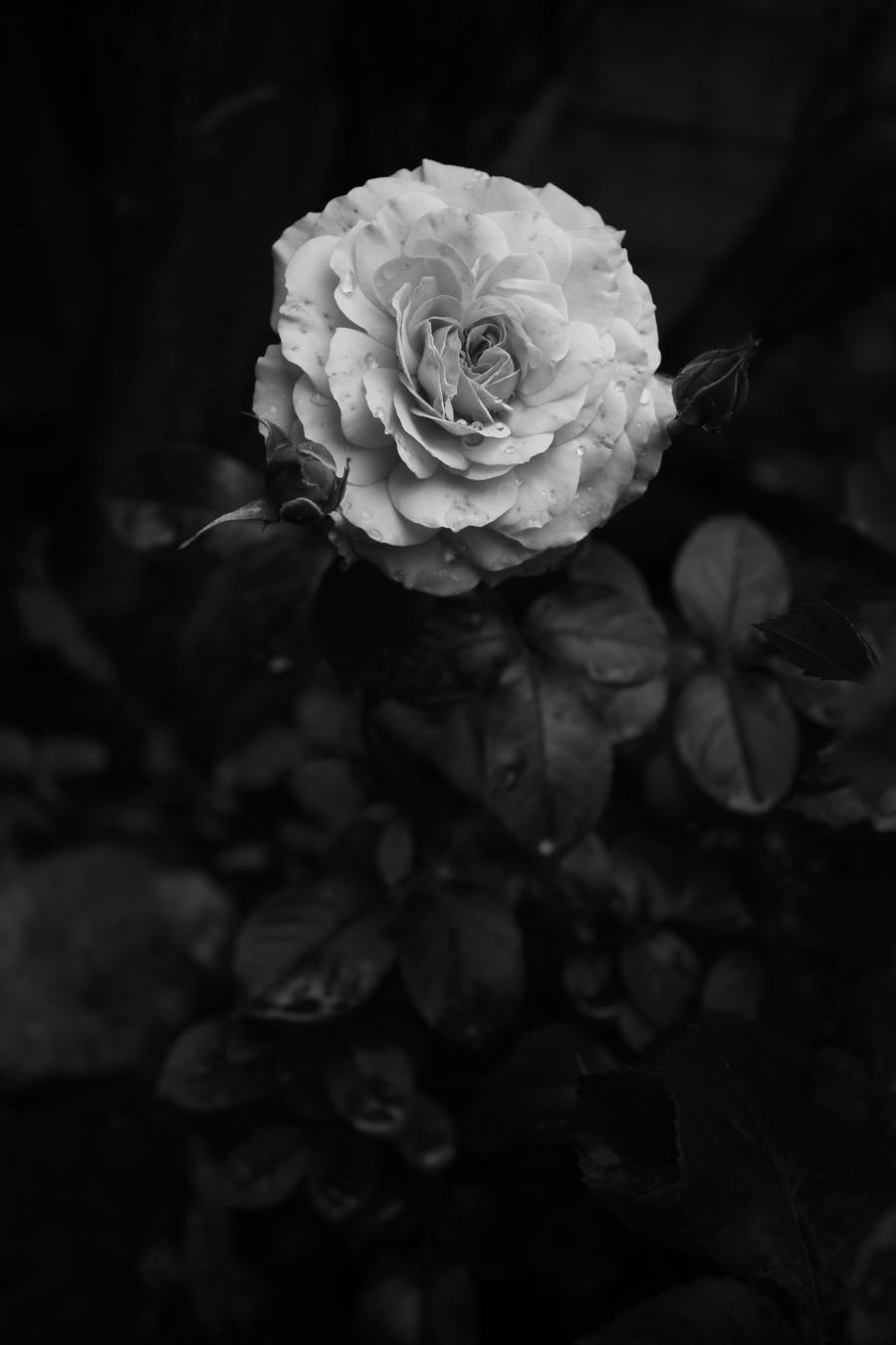 White Rose by JesssssT
