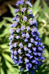 Salvia Blue Flowers