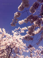 sakura trees II by yuya-yo