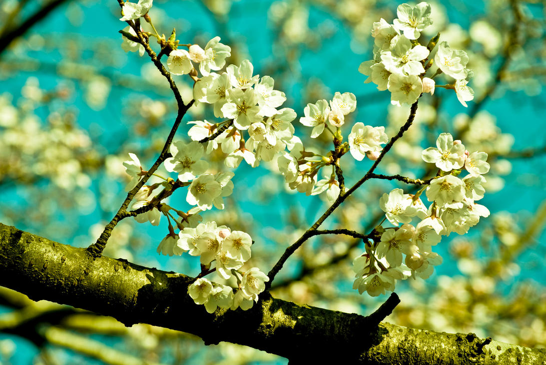 CherryBlossom. by liyaaa