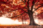 Mist Under The Red Canopy