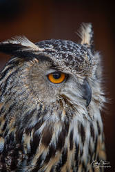European Eagle Owl by MikeFShaw