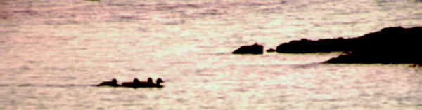 ducks in the sea by gardeenofdreams