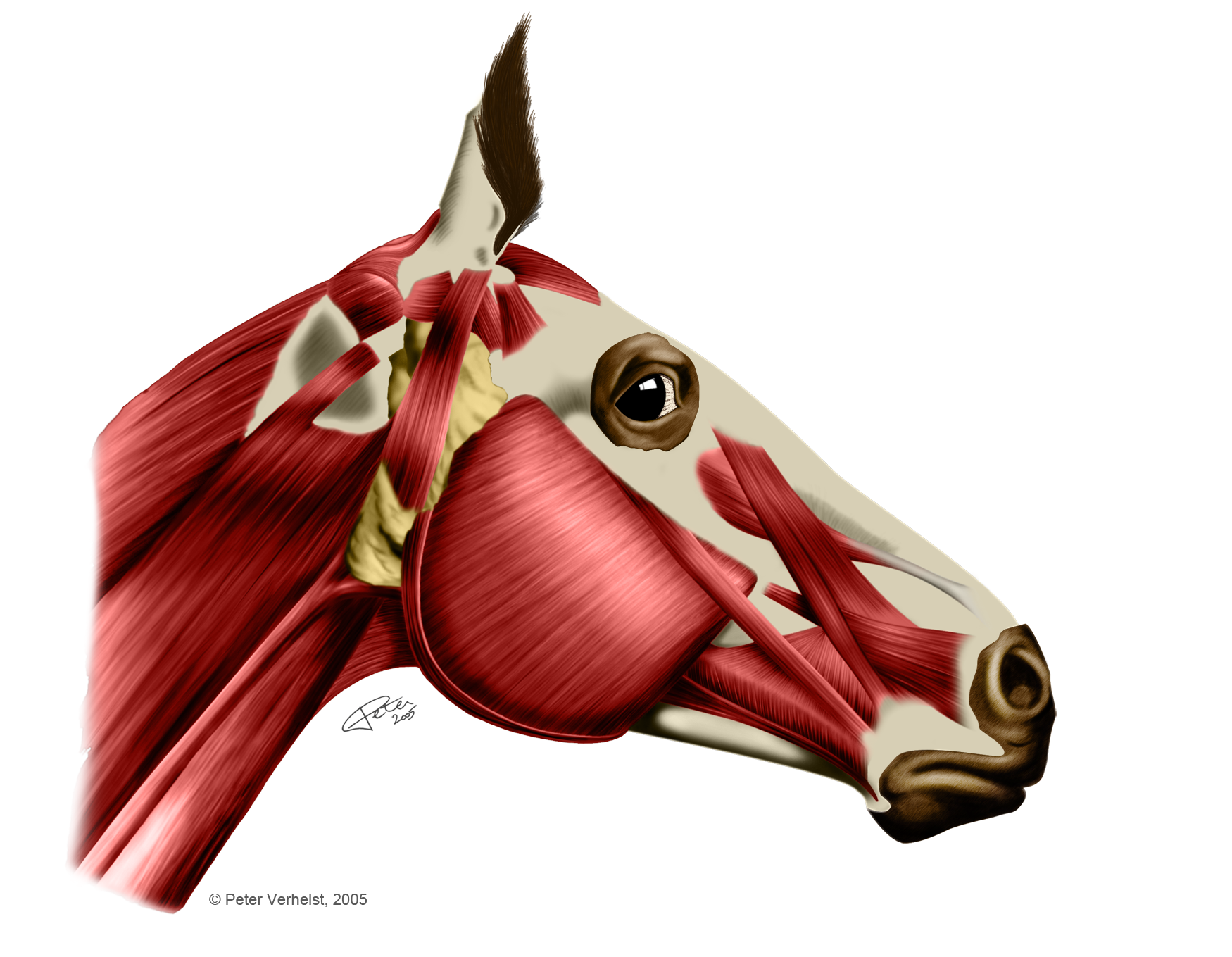 Horse Anatomy Muscles Images - human body anatomy