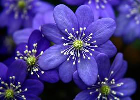 Blue Flowers by photo-freak19