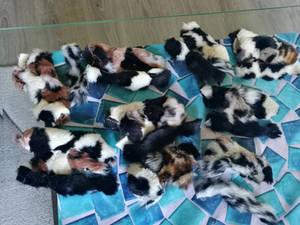 African wild dog puppies WIP