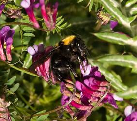 Bumblebee_1
