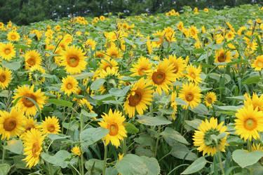 Himawari field