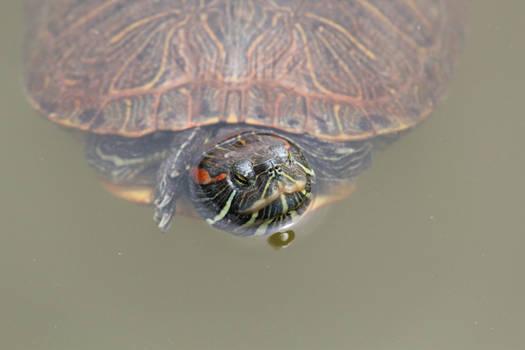 Turtle in Nara