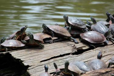 Turtles in Nara