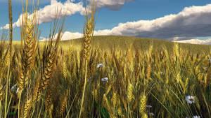 Wheatfield by mainbearing