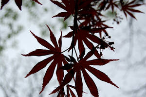 Japanese Maple by OcularFracture