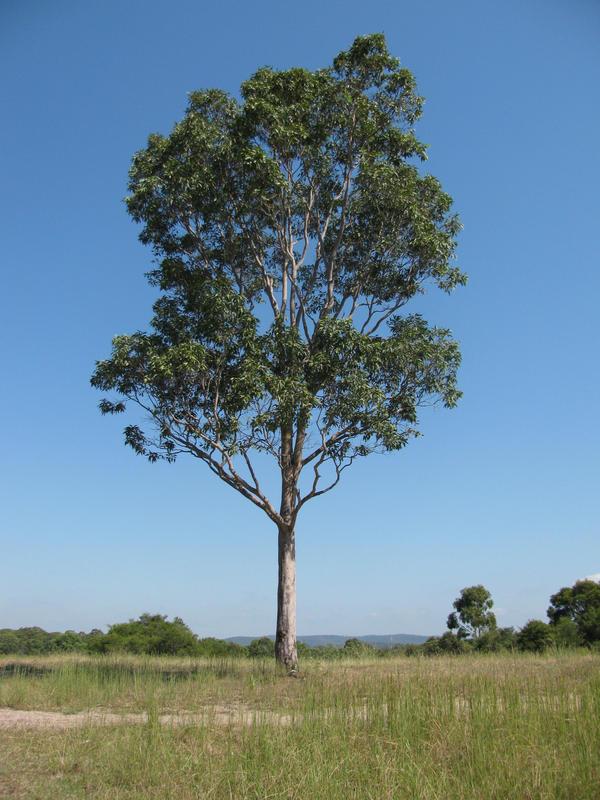eucalyptus tree by obsidianstock on deviantart. Black Bedroom Furniture Sets. Home Design Ideas