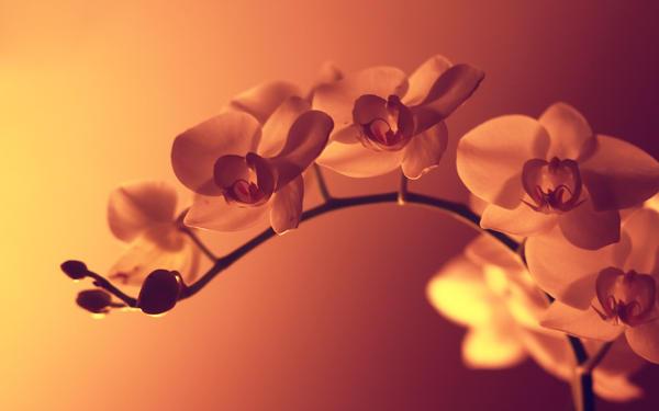 Orchid 1 by otsboi