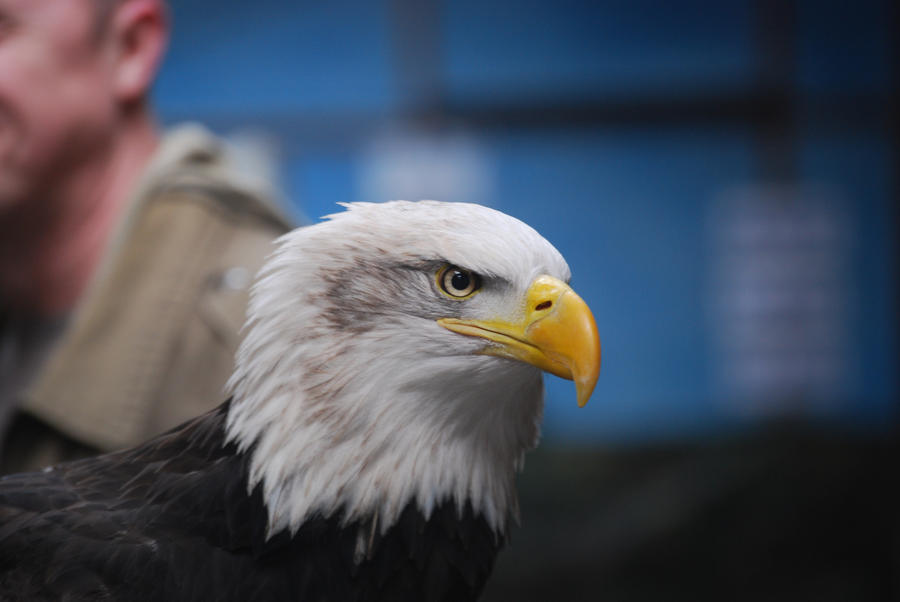 Bald Eagle 2 by kool007kat-stock
