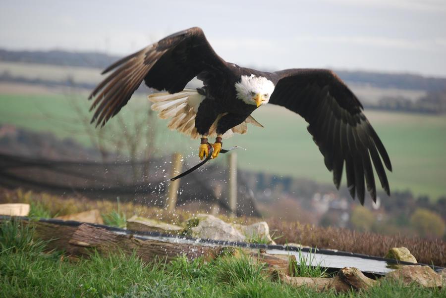 Bald Eagle 8 by kool007kat-stock