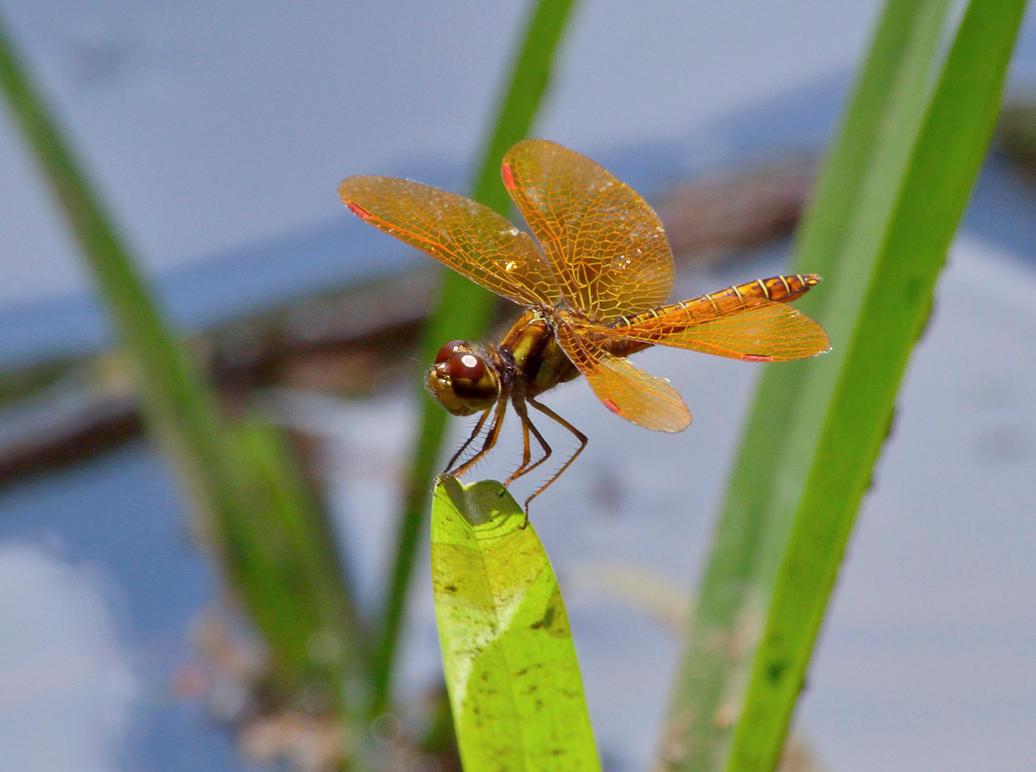 Little dragonfly by chronos-drako
