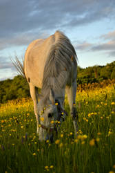 A Horse Browsing at Sunset