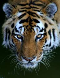 ..Tiger.. by superdavej