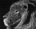 Lion Scratchboard