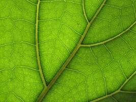Sunlit Leaf by MidnaXX-231