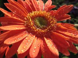Orange Flower with Dew by MidnaXX-231