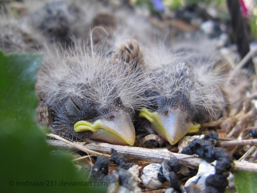 Baby Birds by MidnaXX-231