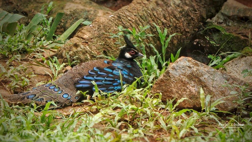 Palawan Peacock Pheasant by ProJeCtAnima