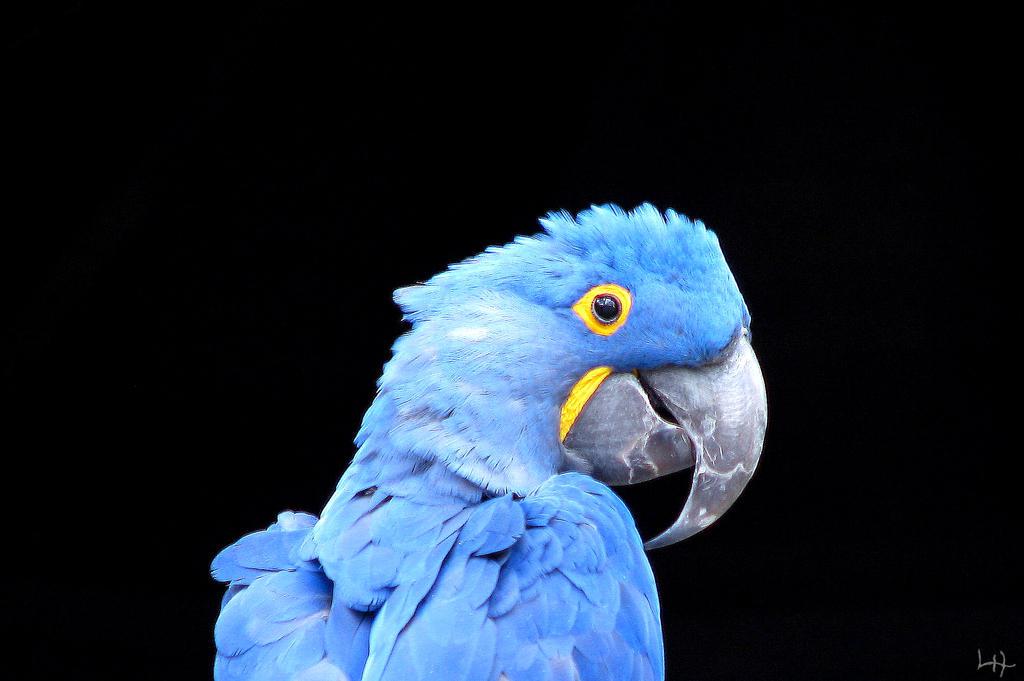 Hyacinth Macaw by LHufford