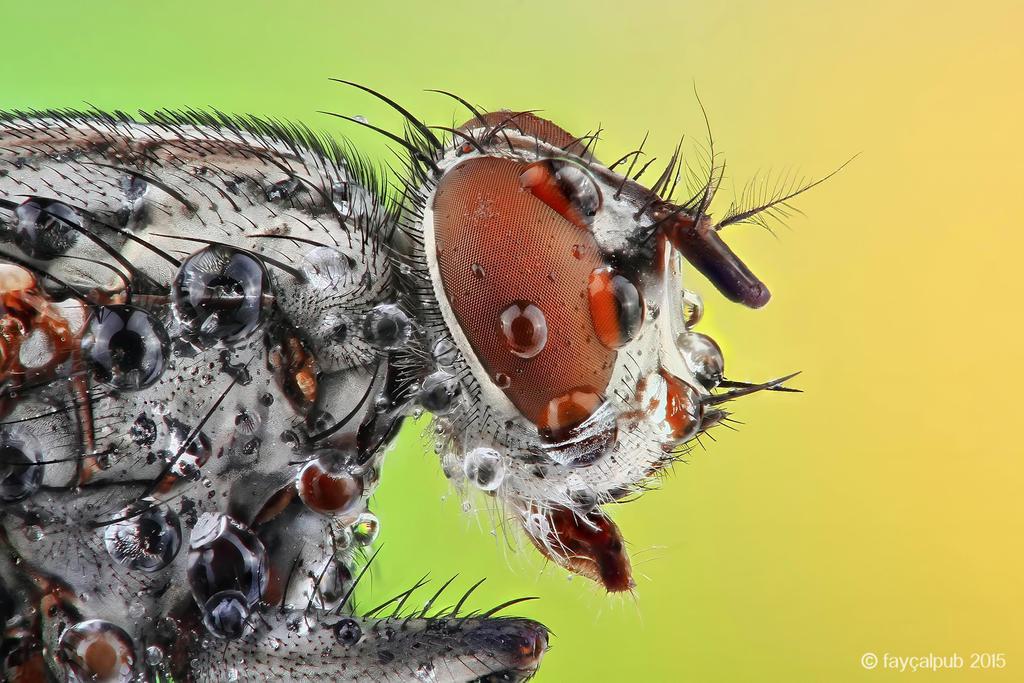 Housefly by faycalpub