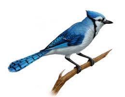Blue Jay by Enchantress-LeLe