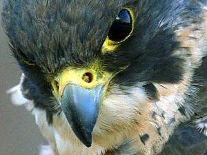 Anglo-Falcon's Profile Picture