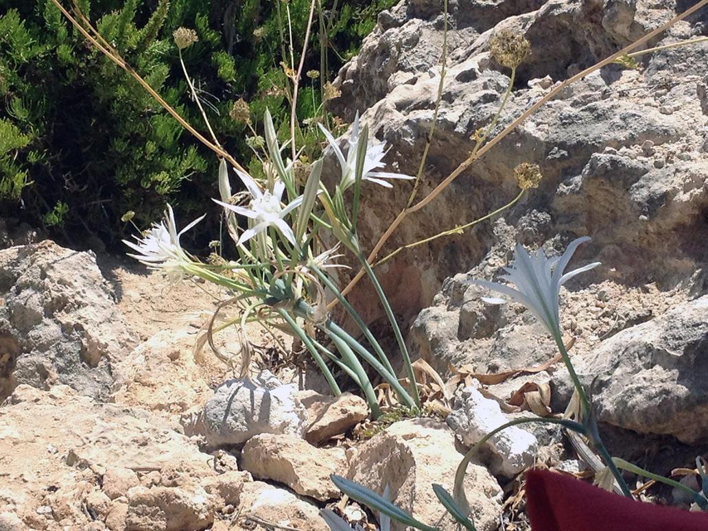 Rare plant in Malta by Cr7NeTwOrK