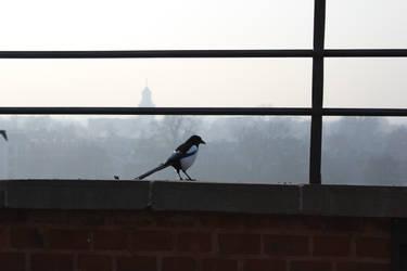 Eurasian magpie (pica)