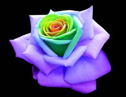 Rainbow Rose by frozen--phoenix