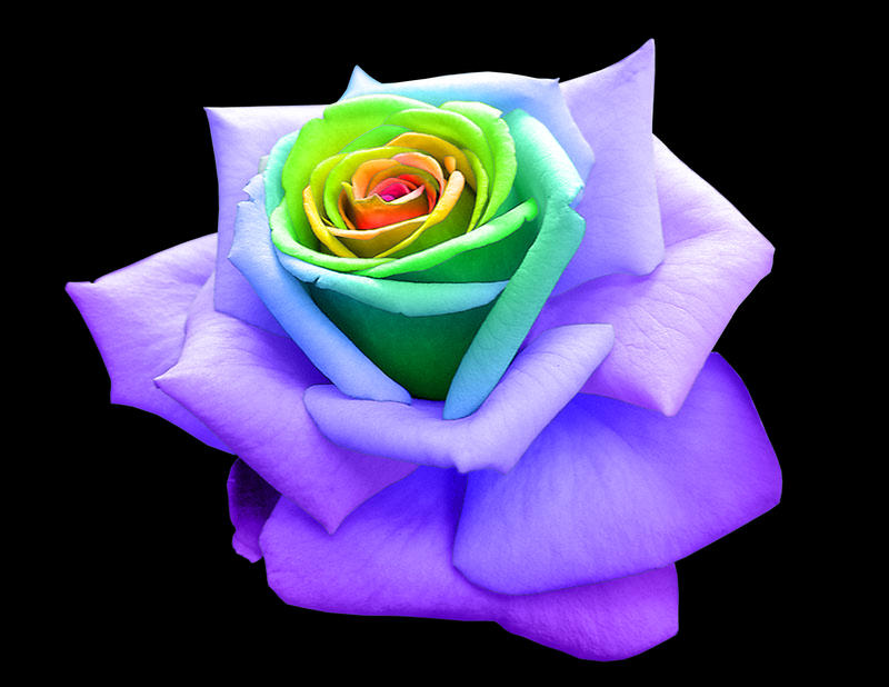 Rainbow rose by frozen phoenix on deviantart for What are rainbow roses