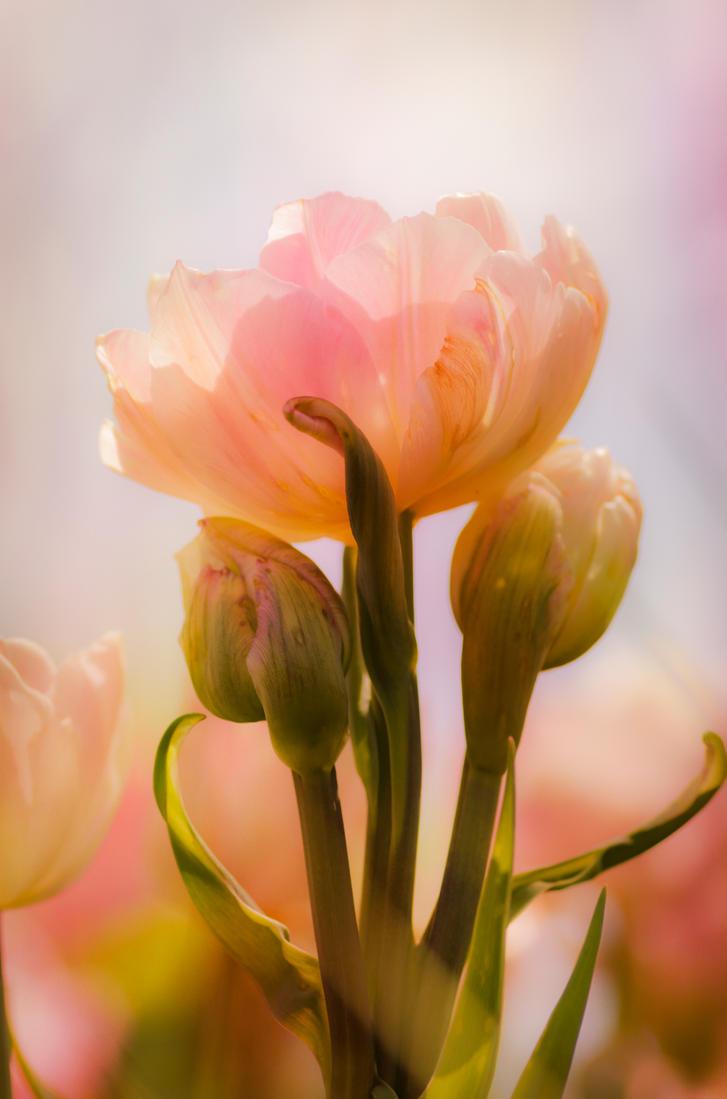 Tulip II by Padawancats