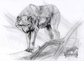 Wolf Sketch by ArkyiVolg