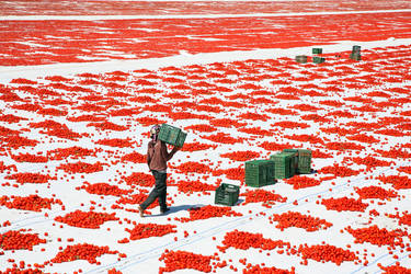 fried red tomatoes by tamergunal