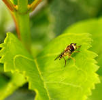 Syrphidae VI by KamiSae