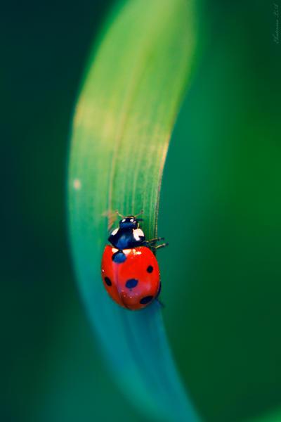 Ladybug by Spademm