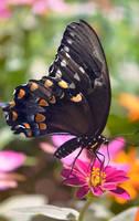 Spicebush Swallowtail by Spademm