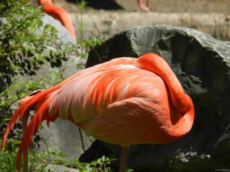 Flamingo by Naturevulpex