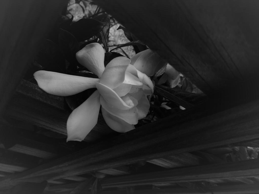 Gardenia in May by Naturevulpex