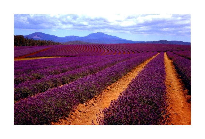 Lavender... by EmiratesSignature