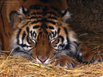 Sumatran Tiger 522 by caybeach