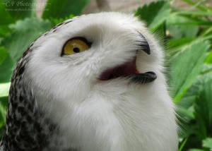 Snowy Owl 647